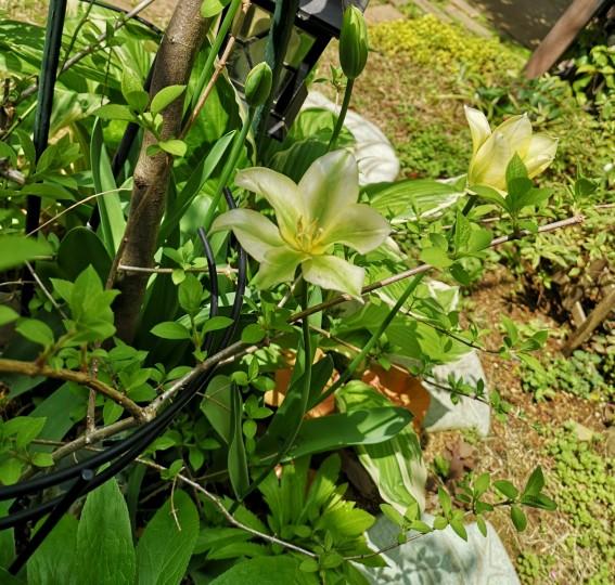 一重咲きのチューリップ グリーンスピリット