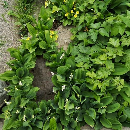 高嶋製作所の花壇に咲くスズランの花