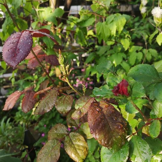 雨上がりの庭/バラ パーマネントウェーブ