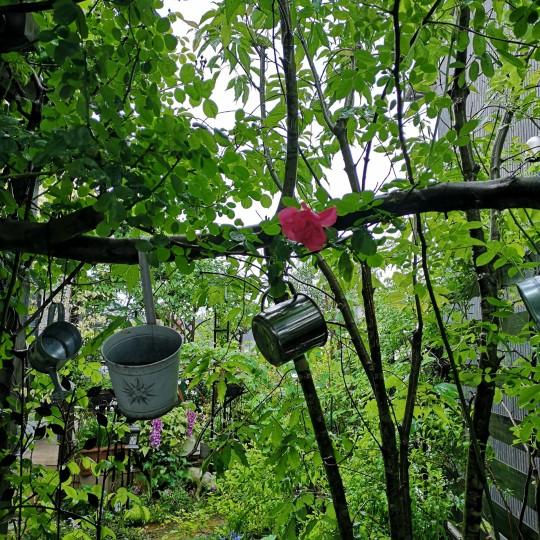 雨の庭/ツルバラアンジェラ