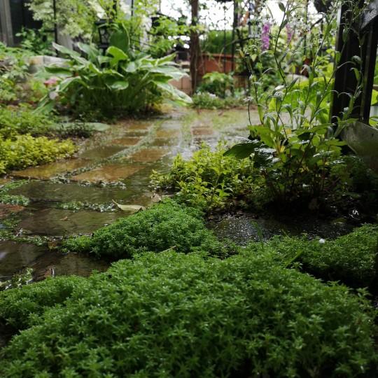 雨の庭/セダム