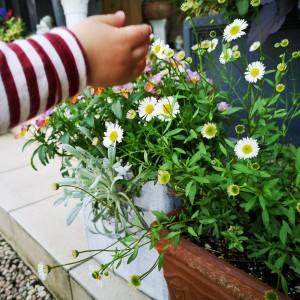 孫っちのエリゲロンの花摘み