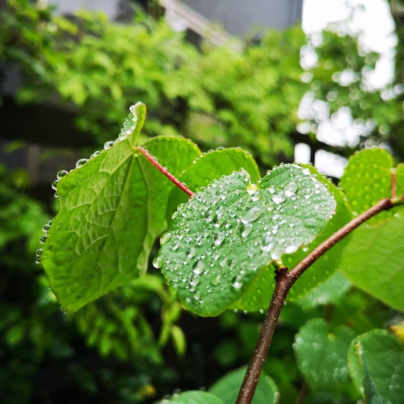 マルバノキの葉っぱに雨粒