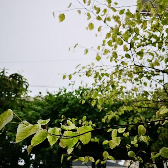雨上がりの庭/アメリカハナズオウシルバークラウド