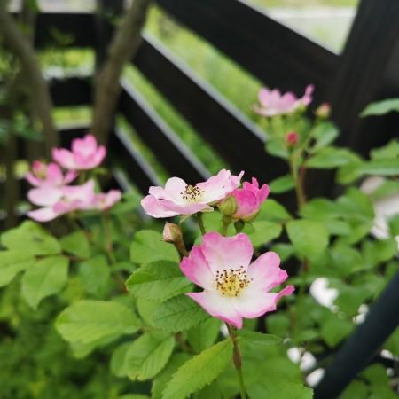 つるバラ バレリーナ