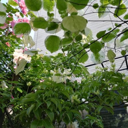 常緑ヤマボウシ/アメリカハナズオウシルバークラウド