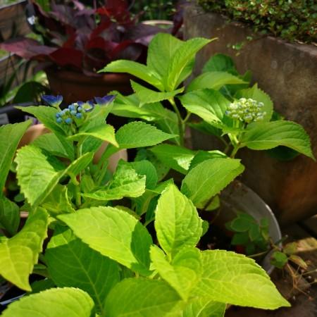 紫陽花ハイドランジアディープパープル