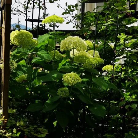 6月の庭/アナベル