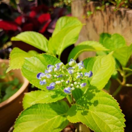 紫陽花ハイドランジア ディープパープル