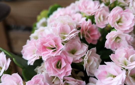 八重咲きのカランコエ・クイーンローズ