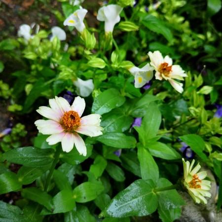 優しい花色のジニア