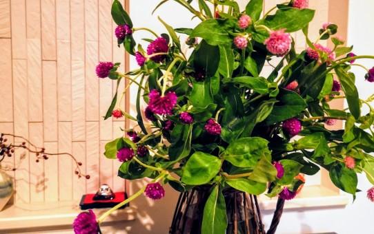 センニチコウの生花