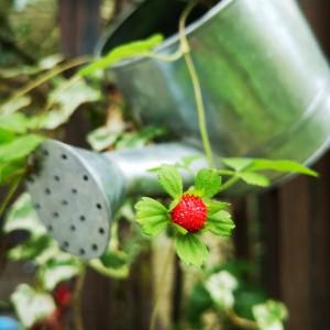 ポットに植えたヘビイチゴ
