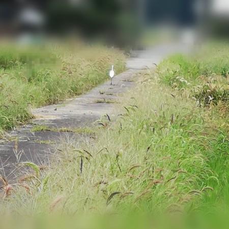 シロサギのお散歩
