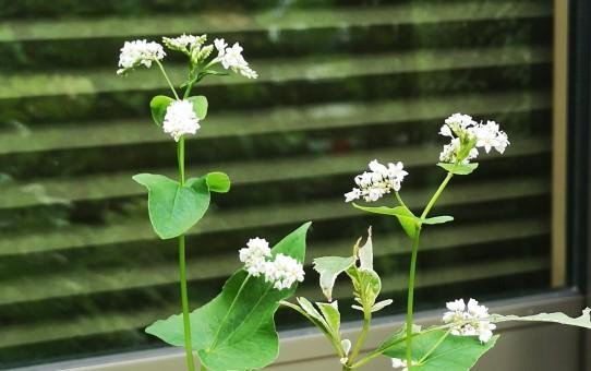 蕎麦の白い花