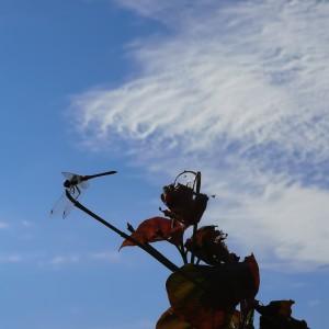 ハナミズキの枝先に赤トンボ