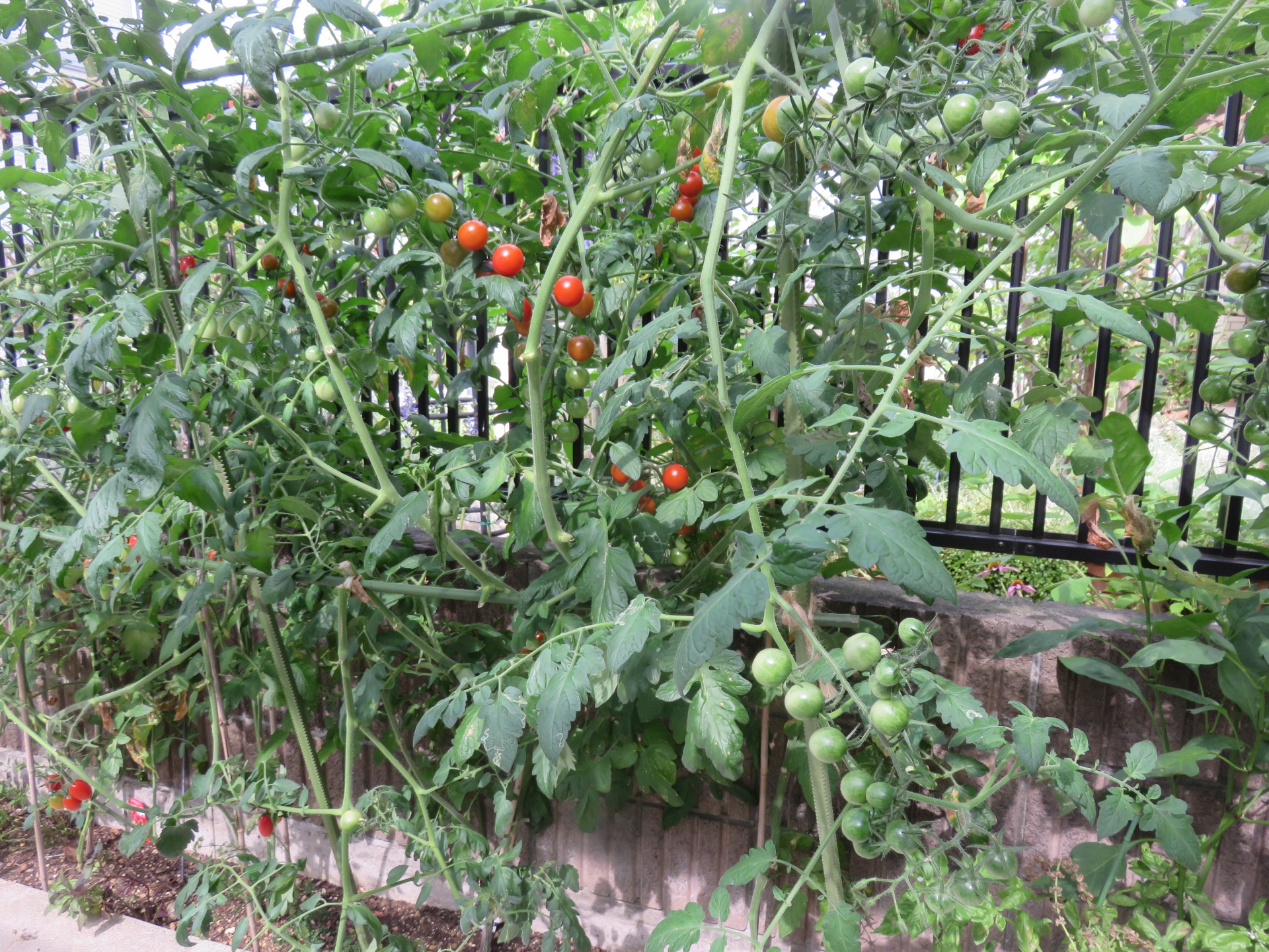 トマトの画像 p1_18
