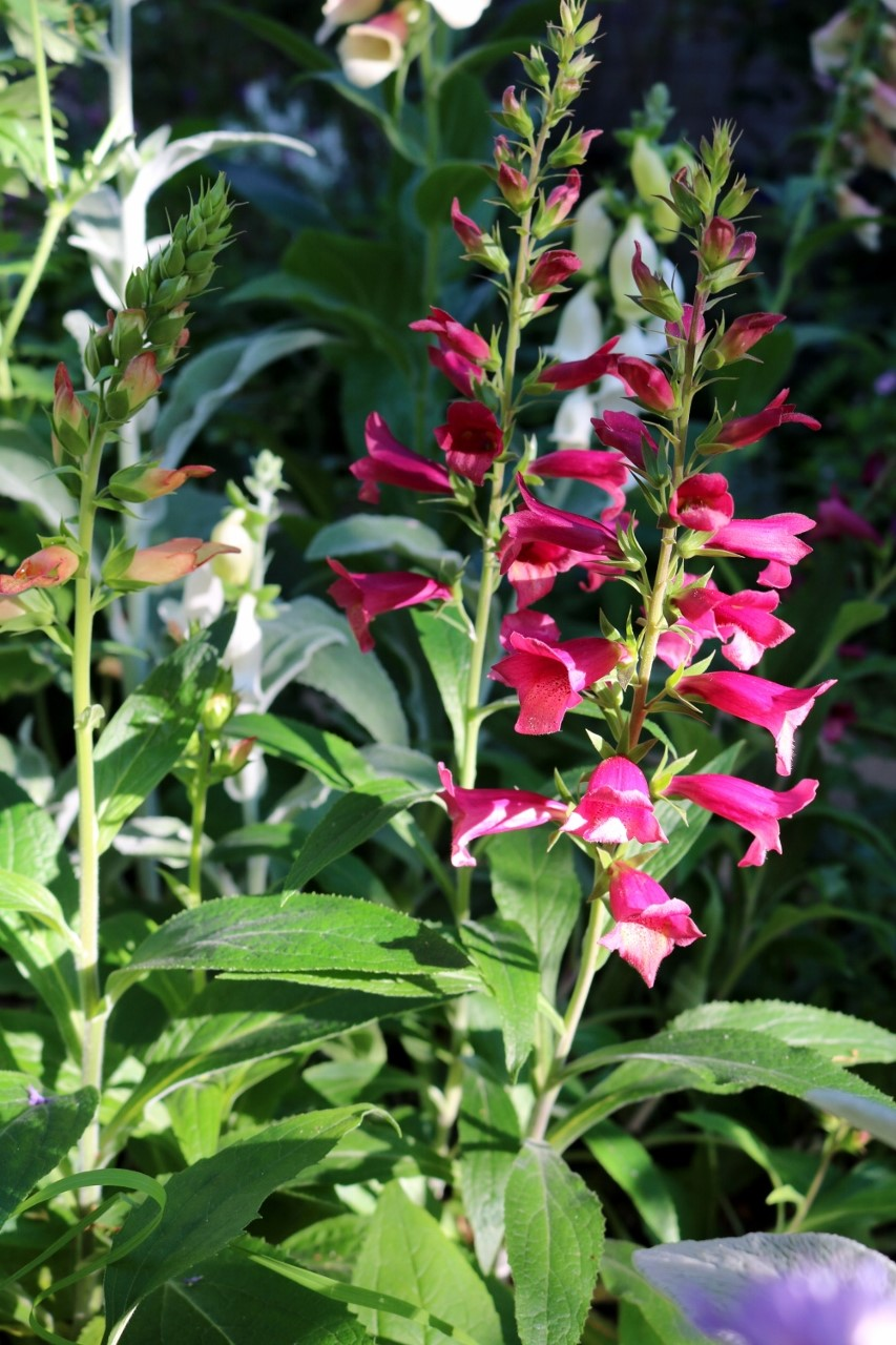 Digitalis ilumination