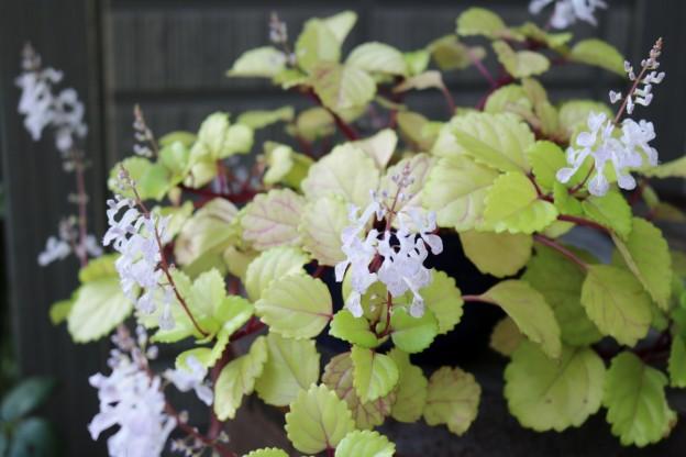 スウェーデンアイビーの花