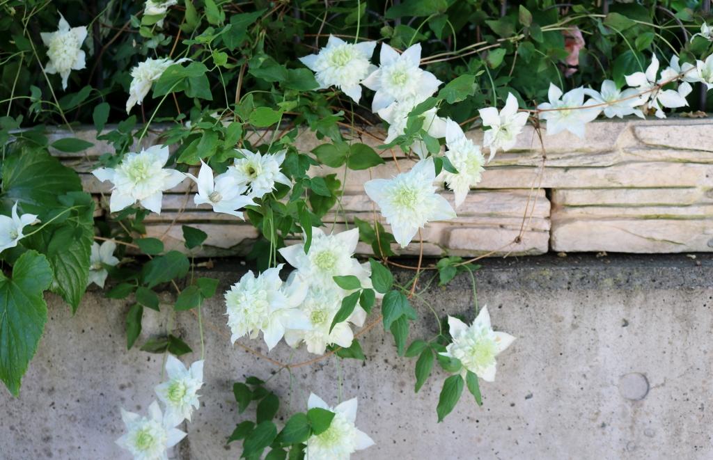 florida-alba-plena